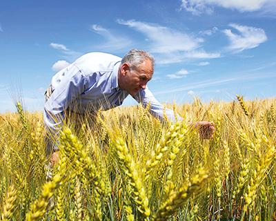Пшеничный кризис: причины сокращения посевных площадей