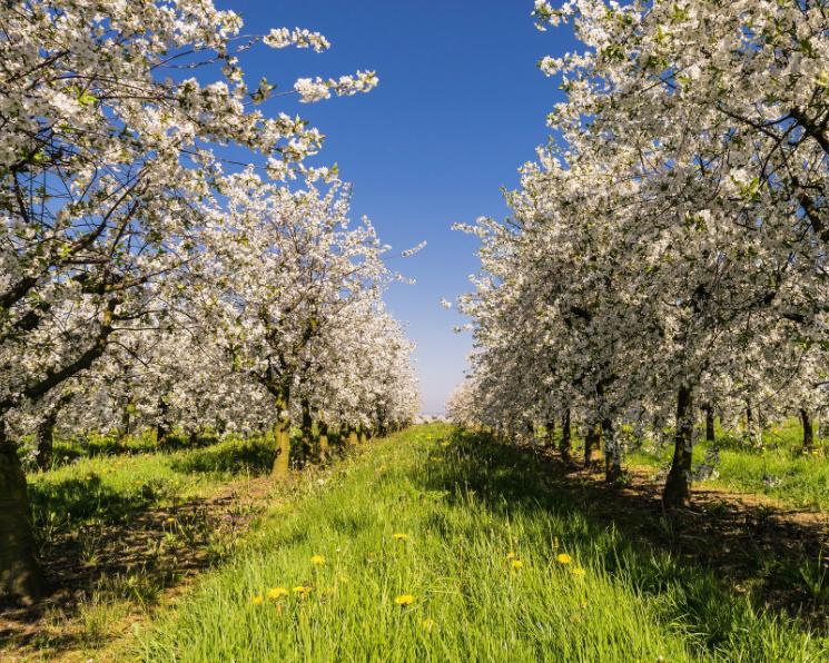 «Агро-Белогорье» увеличила площадь сада в2,5 раза
