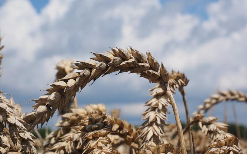 Рентабельность пшеницы в пределах одного хозяйства меняется