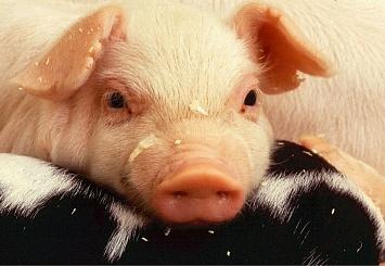 Партнерский материал. ГК «ЭФКО»: замена в составе комбикорма подсолнечного масла на соевое оказывает положительное влияние на приросты живой массы свиней