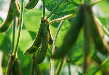 Партнерский материал. Впланах «Агротерры» увеличить урожай сои