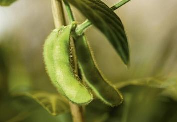 Партнерский материал. Инокуляция— залог высокого и качественного урожая сои
