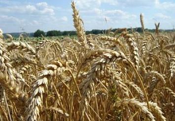 Почему урожай зерна в сезоне 2014/15 снова упадёт?