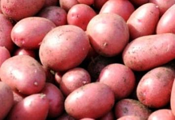 «КРиММ»— качественный семенной картофель