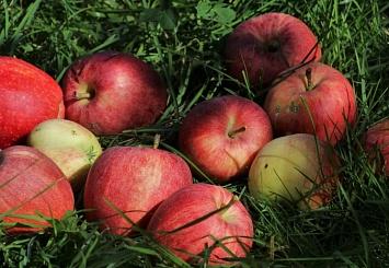 Партнерский материал. Надежная защита яблони от парши и мучнистой росы