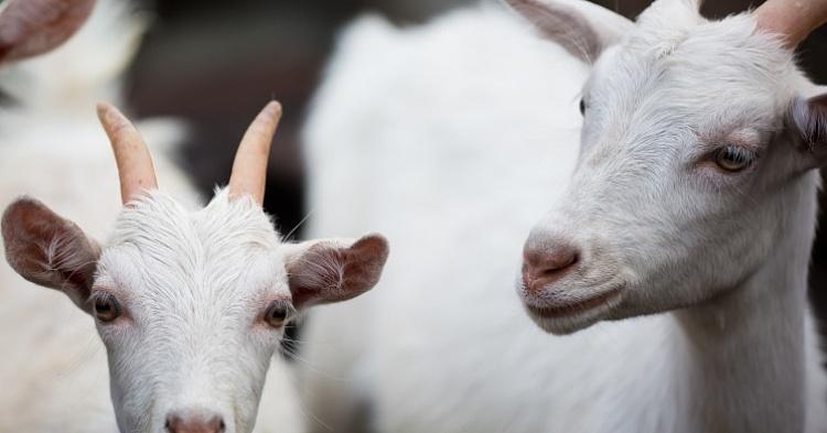 Бизнес план разведения коз: рентабельность козьей фермы в 2019 году