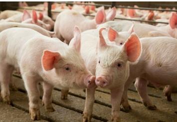 Партнерский материал. Инновационный продукт для свиноводов Viligen™ cформирует здоровый кишечник имикрофлору упоросят-отъёмышей